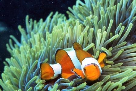 041_anemonefish2.jpg